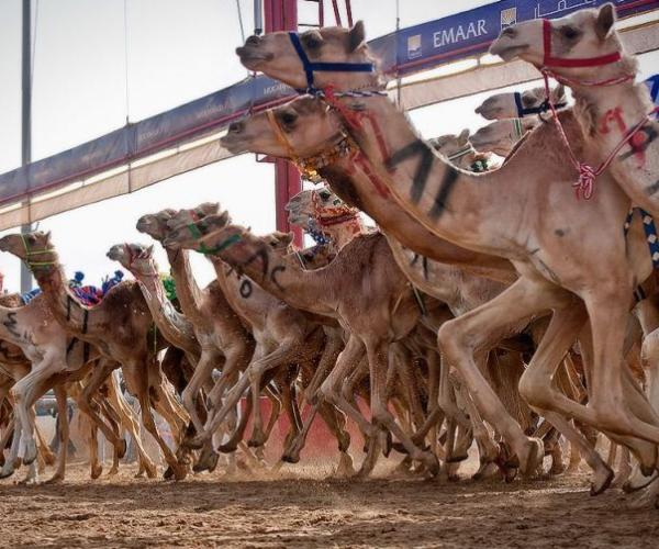Dubai Camel Racing Season 2014-2015 (Week 23)