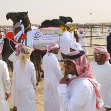 Baynounah Camel Festival (Mazayna) Kicks Off with Participation of Emirati Camel Owners