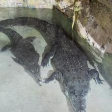 King Croc and Queen Croc at Dubai Aquarium & Underwater Zoo set to expand their family
